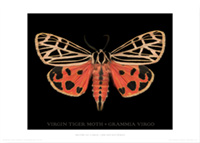 Virgin Tiger                         Moth 70x50cm poster - PT103