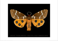 Great Tiger Moth                         70x50cm poster - PT104